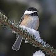 Chickadee On The Spruce Poster