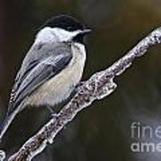 Chickadee Pictures 228 Poster