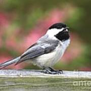 Chickadee Song Poster