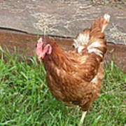 Chicken Portrait Poster
