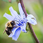 Chicory Bee Poster