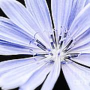 Chicory Flower Macro Poster
