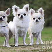 Chihuahua Dogs Poster