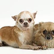 Chihuahua Puppy Dogs Poster