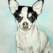 Chihuahua White With Black Spots Poster