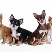 Chihuahuas Dogs Poster