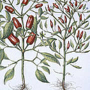 Chilli Pepper Plants Poster