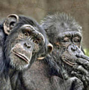 Chimp Couple Poster