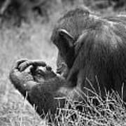 Chimpanzee In Thought Poster