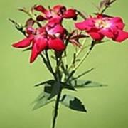 China Rose Poster