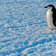 Chinstrap Penguin Poster