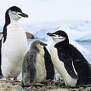 Chinstrap Penguins And Chicks Antarctica Poster