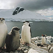 Chinstrap Penguins With Chick Paradise Poster