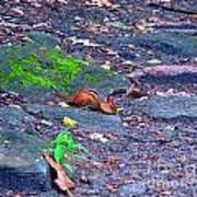Chipmunk Scrounging Amoung The Rocks Poster