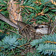 Chipping Sparrow On Nest Poster