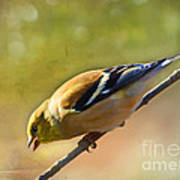 Chirping Gold Finch - Painted Effect Poster