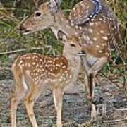Chital Deer And Fawn Poster