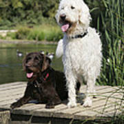 Chocolate And Cream Labradoodles Poster