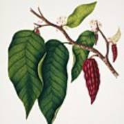 Chocolate Cocoa Plant Poster