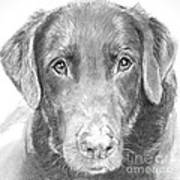Chocolate Lab Sketched In Charcoal Poster