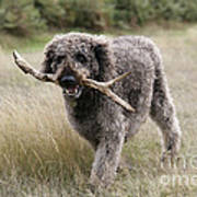 Chocolate Labradoodle Poster