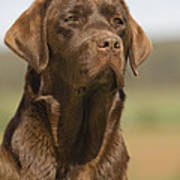 Chocolate Labrador Dog Poster