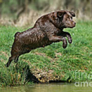 Chocolate Labrador Jumping Poster