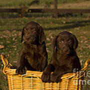 Chocolate Labrador Retriever Pups Poster