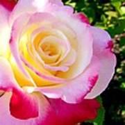 Choice Garden Rose Poster
