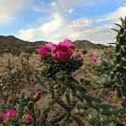 Cholla Cactus Blooming In The Sandia Foothills Poster