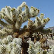 Cholla Cactus Poster
