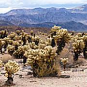 Cholla Cactus Garden Poster