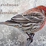 Christmas Blessings Finch Greeting Card Poster