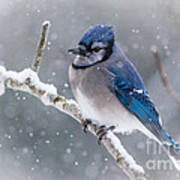 Christmas Card Bluejay Poster