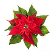 Christmas Poinsettia  Poster