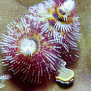 Christmas Tree Worms 1 Poster