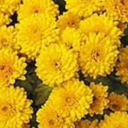 Chrysanthemum 'branhalo' Poster