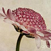 Chrysanthemum Domino Pink Poster