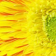 Chrysanthemum Flower Closeup Poster
