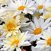 Chrysanthemum Flowers 4 Poster