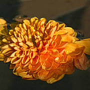 Chrysanthemum Gently Floating In The Fountain Of Campo De Fiori - Rome - Italy Poster