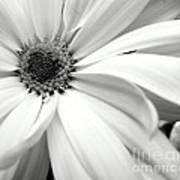 Chrysanthemum In Black And White Poster