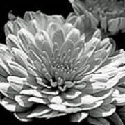 Chrysanthemum In Light And Shadow Poster