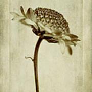 Chrysanthemum In Sepia Poster