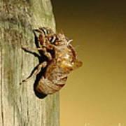 Cicada Shell Poster