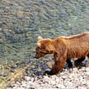 Cinnamon-colored Grizzly Bear By Moraine River In Katmai Np-ak  Poster