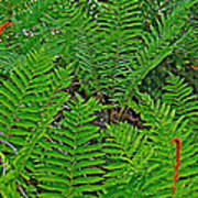 Cinnamon Ferns Along Skyline Trail In Cape Breton Highlands Np-n Poster