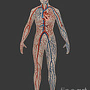 Circulatory System In Female Anatomy Poster