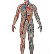 Circulatory System In Male Anatomy Poster