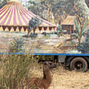 circus circus 2 - A vintage circus wagon with african paint and llama camel  Poster